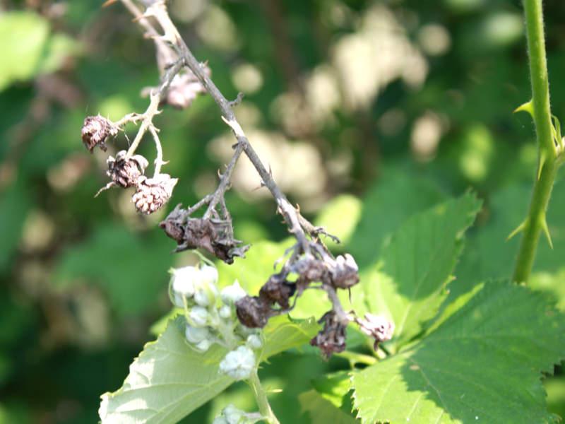 Bald Früchte für Brombeermarmelade