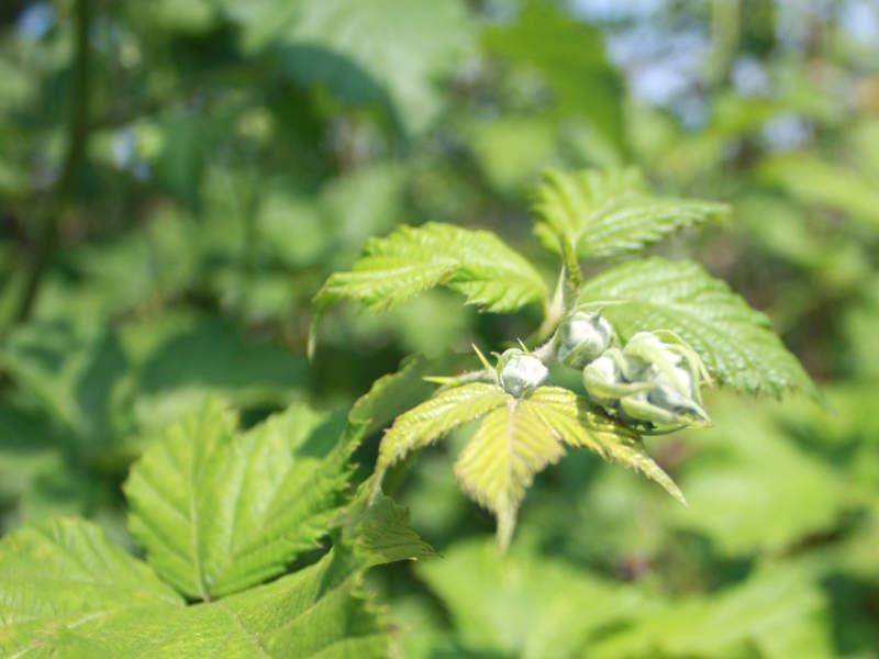 Brombeeren - Die Blüten sind schon da